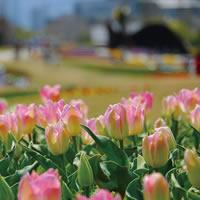 写真:明石海峡公園のチューリップ