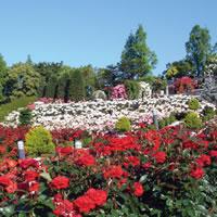 写真:荒牧バラ公園のバラ