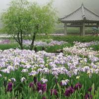 写真:大阪舞洲ゆり園のゆり