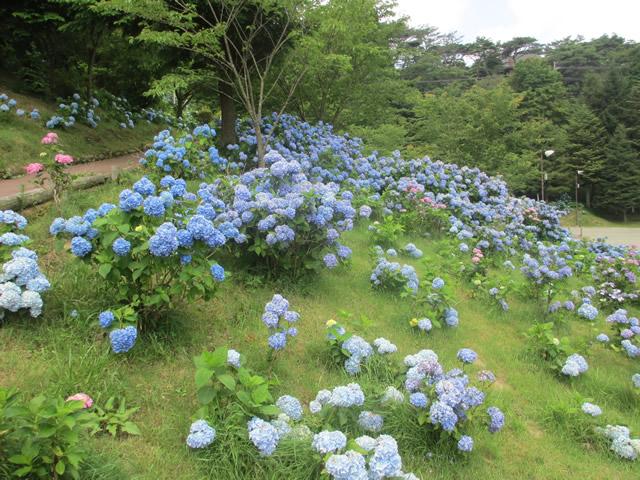 写真1:六甲山カンツリーハウスの鮮やかなアジサイ