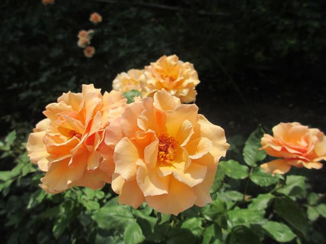写真2:六甲山カンツリーハウスのオレンジ色のバラ