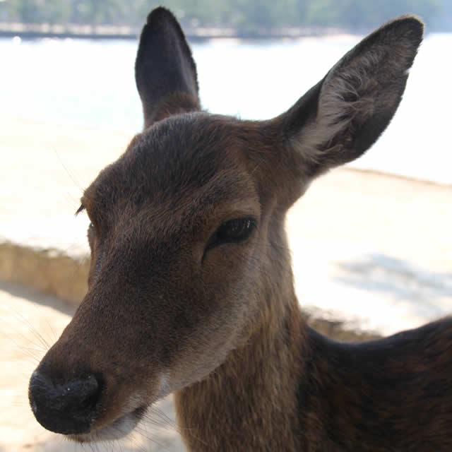 写真:宮島の鹿