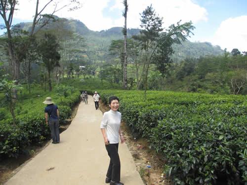 写真:紅茶畑