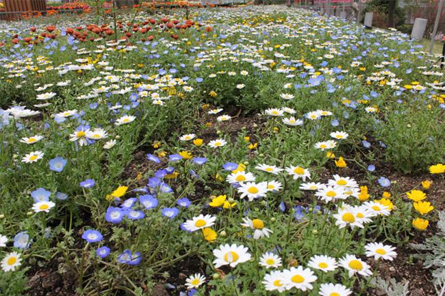 写真:一面の花畑