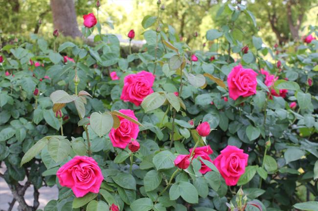 写真:咲き誇るホットピンク色のバラ