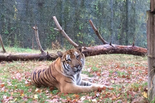 写真:車窓から見える動物。トラ