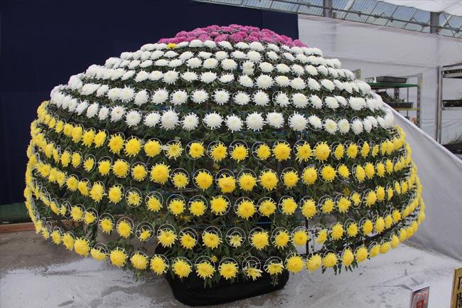 写真:圧巻の千輪咲き