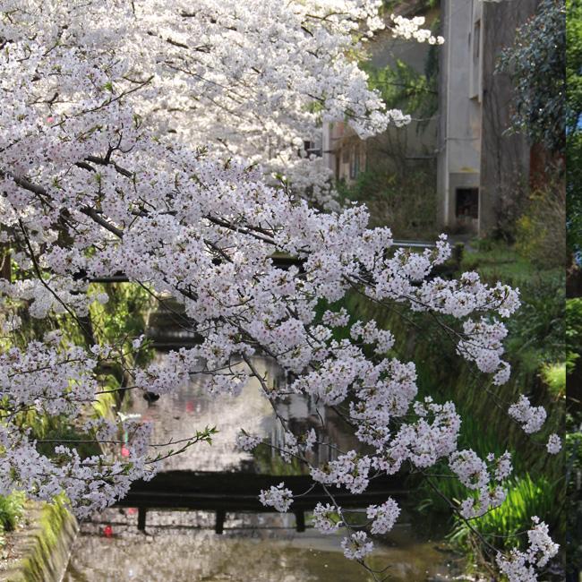 写真:川と桜