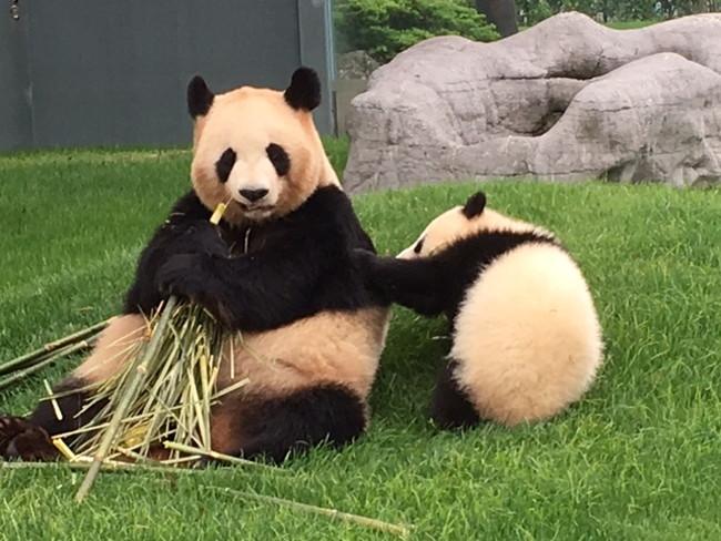 写真:笹をはむパンダ