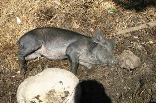 写真:まるまると太った豚がゴロッと寝転がる
