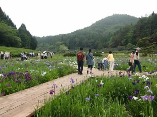 写真:きれいに咲き誇る菖蒲園の花