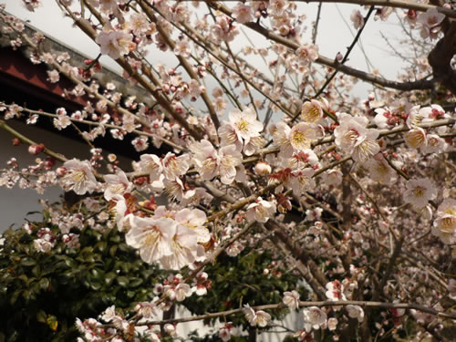 写真:満開の梅