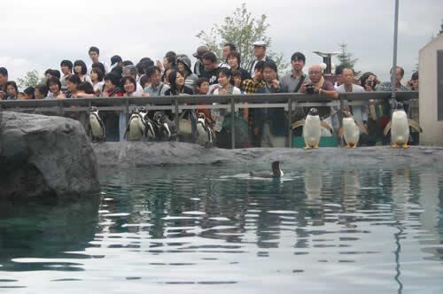 写真:旭山動物園のペンギンたち